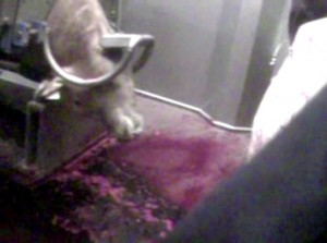 Nicolaas G. Pierson Foundation presents undercover footage unanaesthetised ritual slaughter